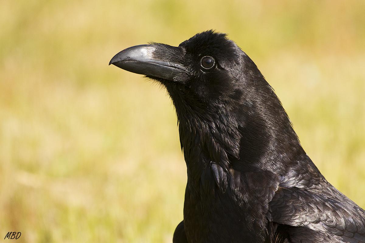 Retrato de cuervo. F5 v1/800 ISO800 +0,67EV 400mm.